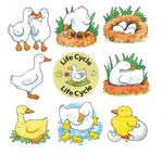 D0015: DUCK LIFE CYCLE PUZZLE