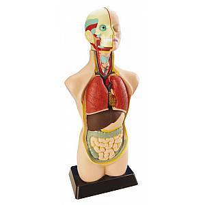 D104: Anatomical Human Torso