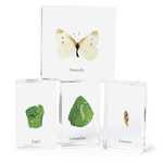 J7: Acrylic Specimens - Butterfly life cycle