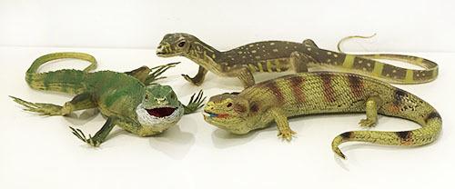 T5511: Lizards
